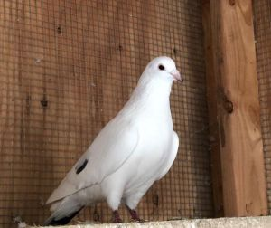 Serafina is a lovely pigeon whose bright white feathers are offset with a couple of black markings