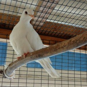 Hi my name is Kawaii and Im a tiny white dove My friends and I were taken to the Humane