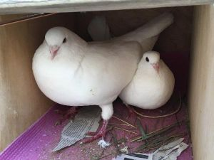Shirley the little Homer on the right next to her big King pigeon husband Coconut is the survivor