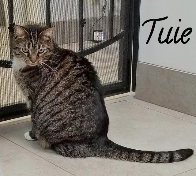 Tuie, an adoptable Domestic Short Hair in Las Vegas, NV