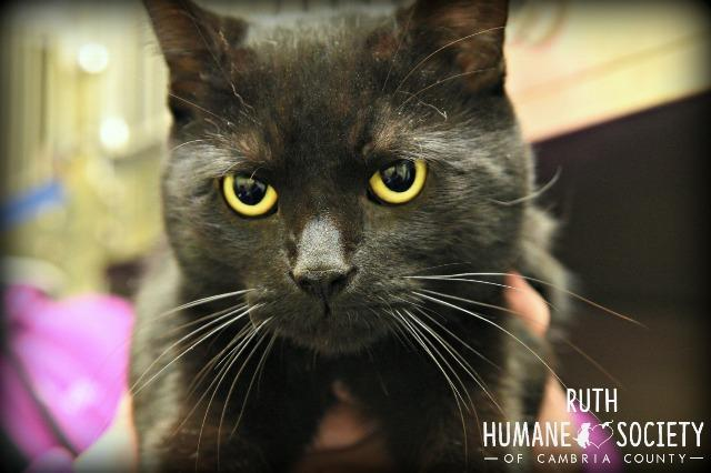 Ruth, an adoptable Domestic Short Hair in Johnstown, PA