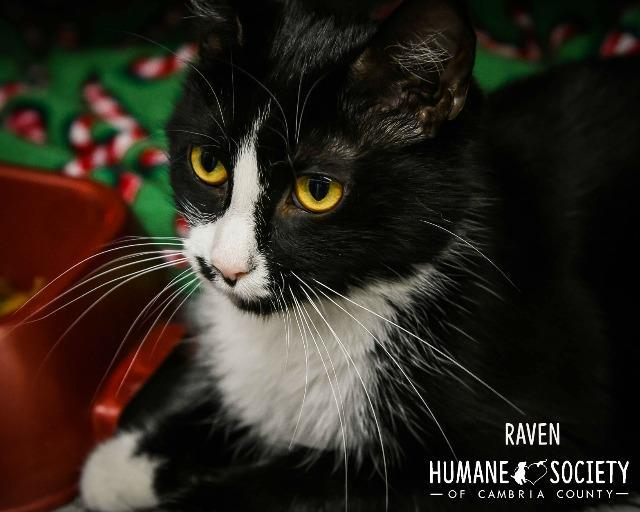 Raven, an adoptable Domestic Short Hair in Johnstown, PA