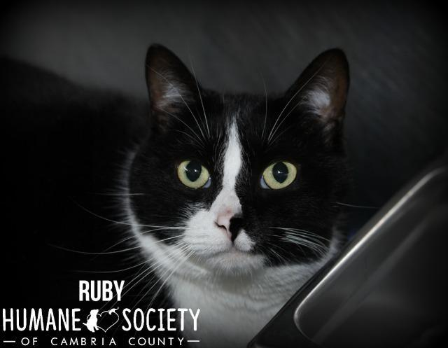Ruby, an adoptable Domestic Short Hair in Johnstown, PA