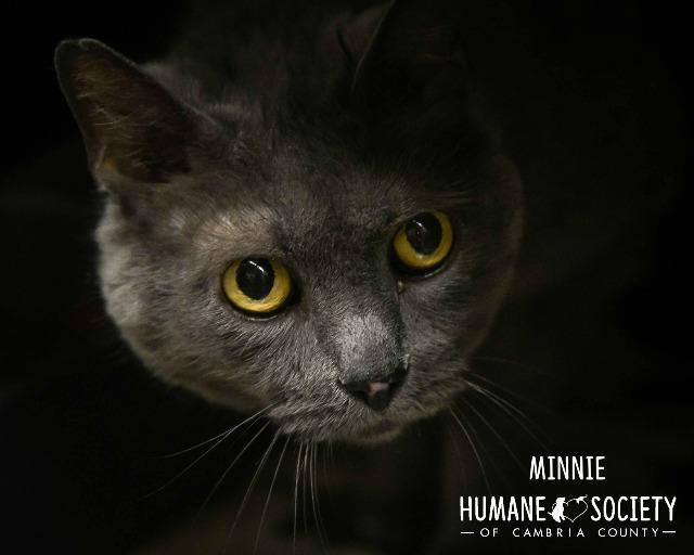 Minnie, an adoptable Domestic Short Hair in Johnstown, PA