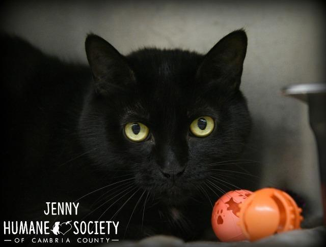 Jenny, an adoptable Domestic Short Hair in Johnstown, PA