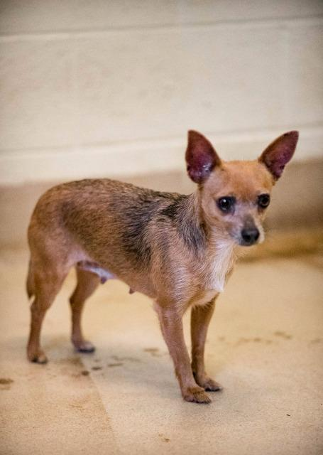 Gilly, an adoptable Chihuahua in Fort Pierce, FL