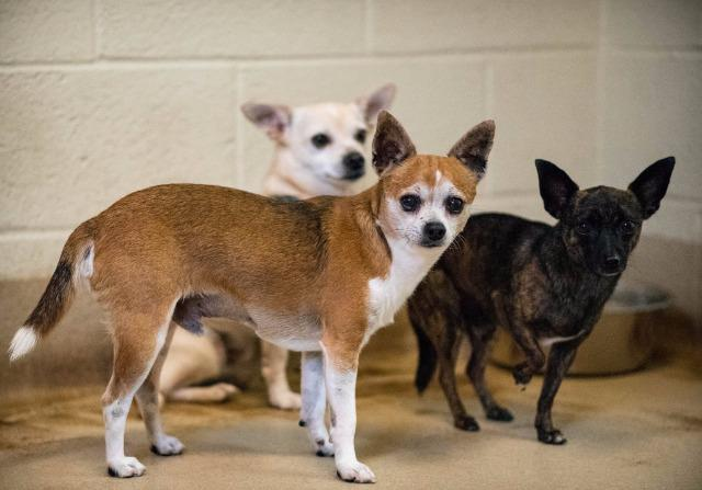 Rudy, an adoptable Chihuahua in Fort Pierce, FL