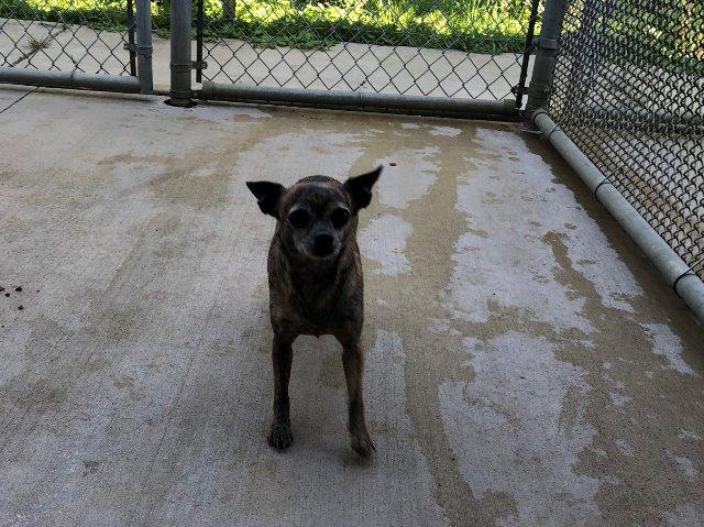 Sammie, an adoptable Chihuahua in Fort Pierce, FL