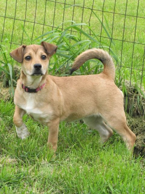 Dog for adoption - Polly, a Shepherd & Dachshund Mix in