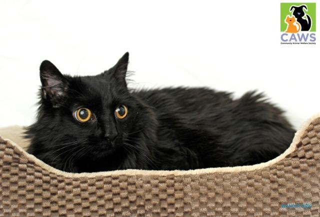 Samantha, an adoptable Domestic Long Hair in Salt Lake City, UT