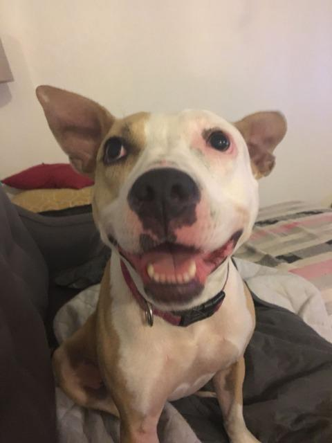 Anna, an adoptable Pit Bull Terrier in New Orleans, LA
