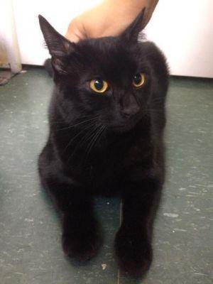 Jax Domestic Short Hair Cat