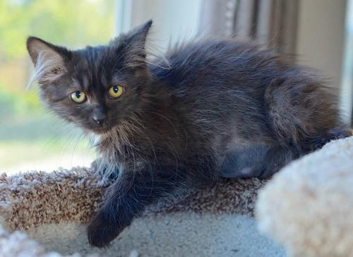 Godiva, an adoptable Domestic Medium Hair Mix in Springfield, OR