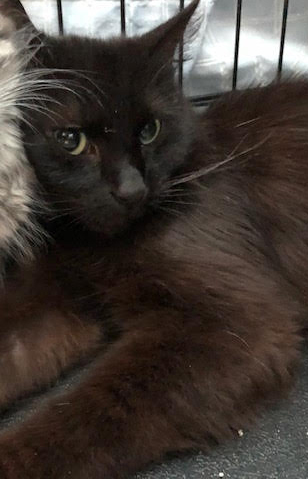 Yolonda, an adoptable Domestic Medium Hair in Monroe, MI