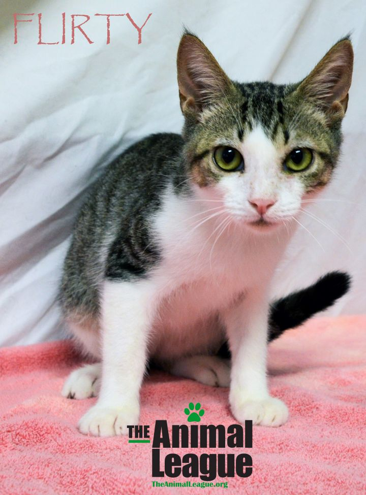 Flirty, an adoptable Domestic Short Hair Mix in Clermont, FL