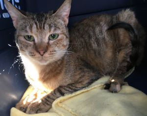 Meet Tiger Lily Tiger Lily is a beautiful Abyssinian Mix She was born about 7119 She is a cute