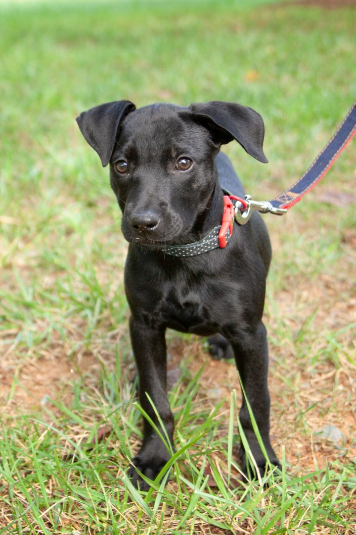 Shera, an adopted Labrador Retriever Mix in Waxhaw, NC