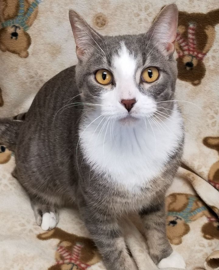 Fu, an adopted Domestic Short Hair in Marshfield, WI