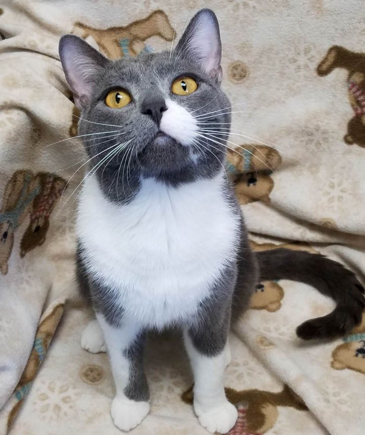 Mutton Chops, an adoptable Domestic Short Hair in Marshfield, WI