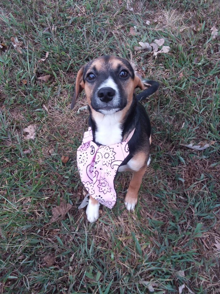 Pixie, an adoptable Hound Mix in Conover, NC