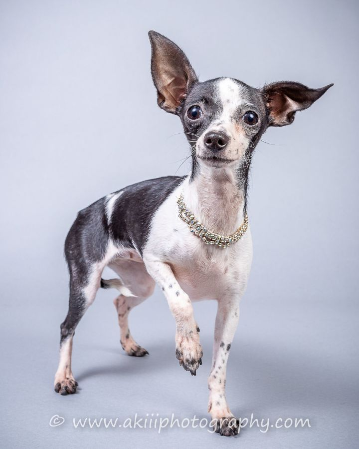 BeBe, an adopted Chihuahua in Plano, TX