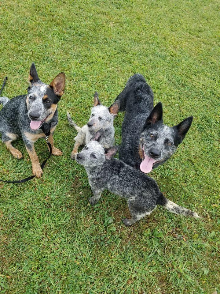 Dog For Adoption Malibu Pending Adoption An Australian