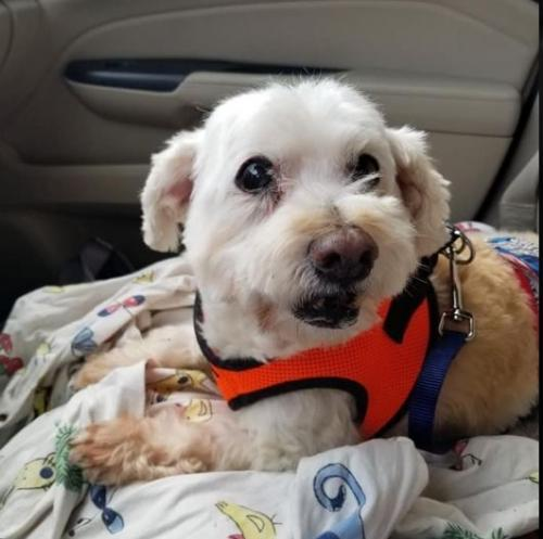 Dog for adoption - Hoagie, a Bichon Frise Mix in Cranston