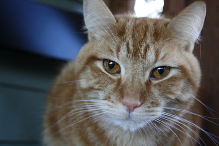 Tigger, an adopted Domestic Short Hair in Shoreline, WA