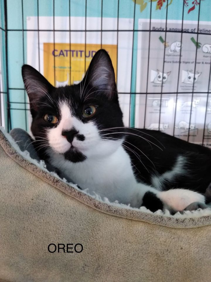 Oreo, an adopted Domestic Short Hair in Shoreline, WA