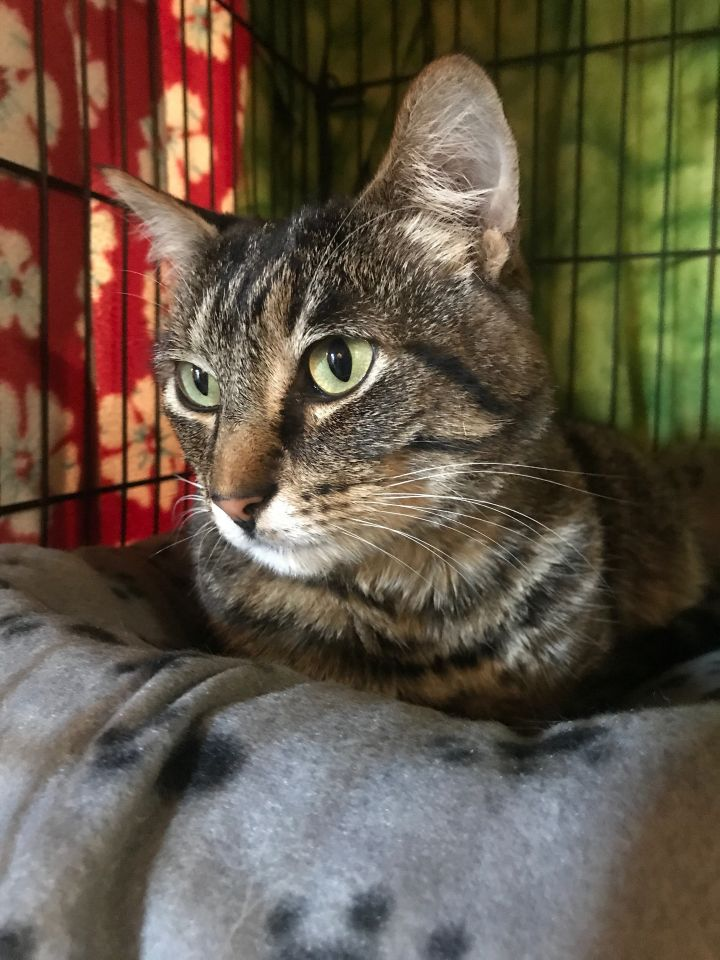 Tabby, an adopted Domestic Short Hair & Tabby Mix in Shoreline, WA