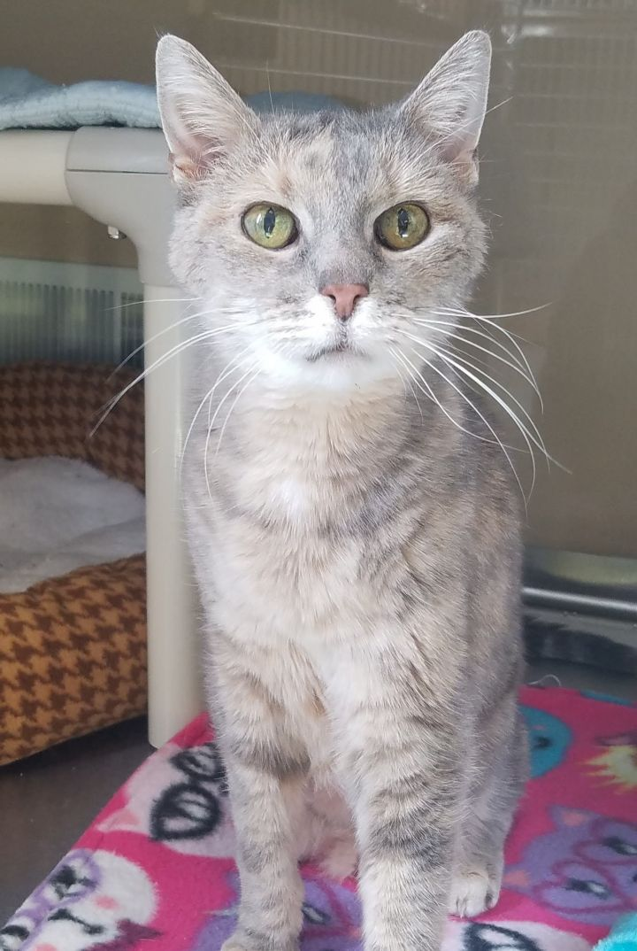 Chrissy, an adoptable Domestic Short Hair in Marshfield, WI
