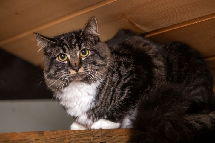 RePete, an adopted Domestic Long Hair & Tabby Mix in Shoreline, WA