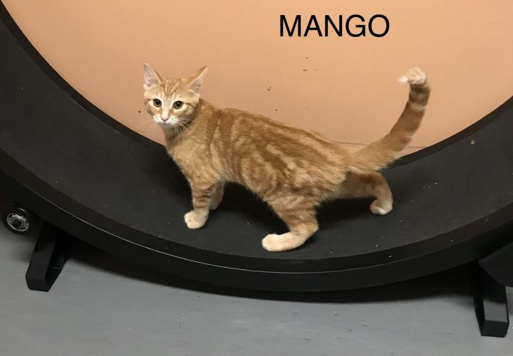 Mango, an adoptable Domestic Short Hair in Shoreline, WA