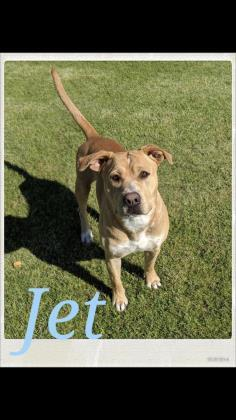 jet, an adoptable American Staffordshire Terrier in Prineville, OR
