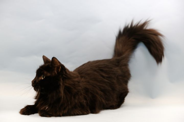 Racer, an adopted Domestic Medium Hair Mix in Appleton, WI