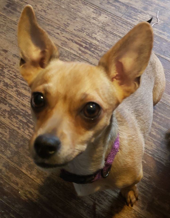 Jazzy, an adopted Chihuahua Mix in Detroit, MI