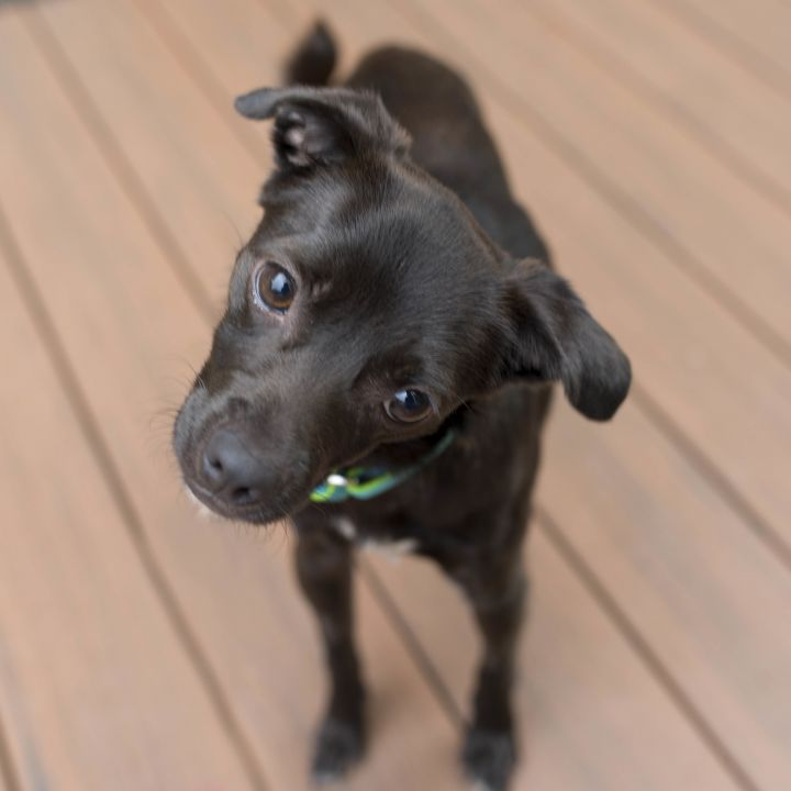 Ivie, an adopted Chihuahua & Pug Mix in Cincinnati, OH