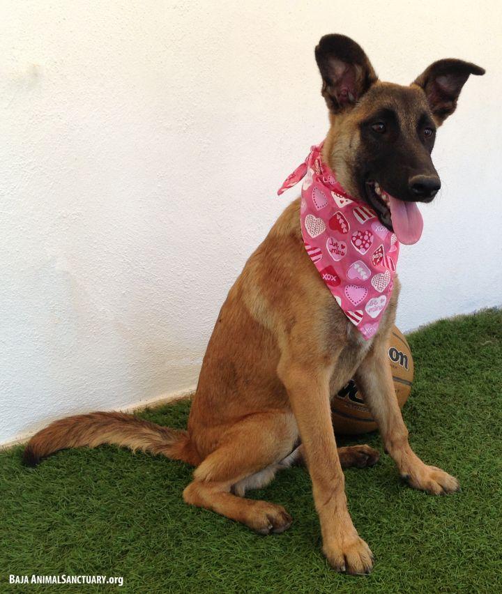 Dog for adoption - Linda, a Belgian Shepherd / Malinois Mix