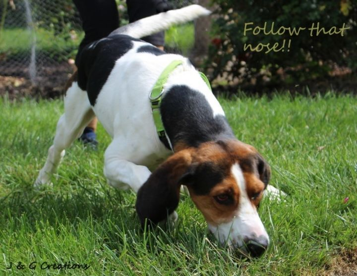 Banjo, an adopted Treeing Walker Coonhound in Fremont, NE