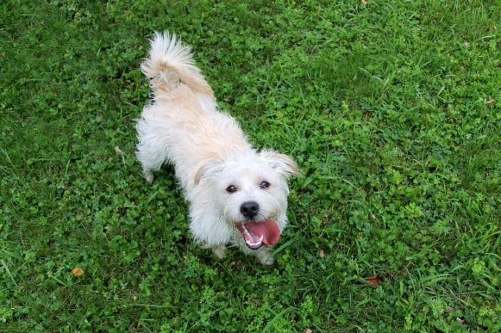 Dog for adoption - Cosmo Kramer, a Cairn Terrier & West