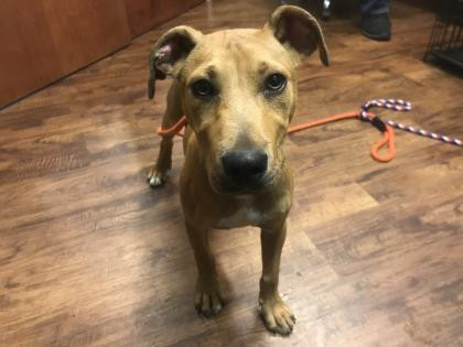 Rusty, an adoptable Pit Bull Terrier Mix in Eagle, ID