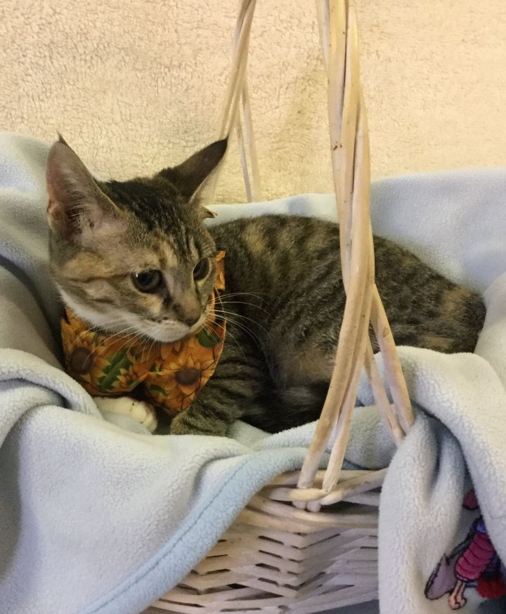 5792, an adopted Torbie in Maidens, VA