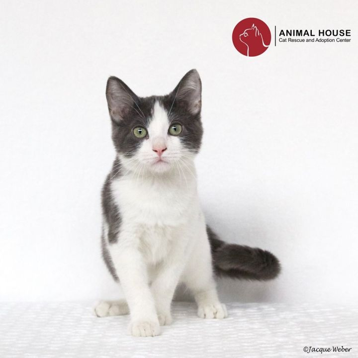 Bellamy, an adoptable Domestic Short Hair in St. Louis, MO