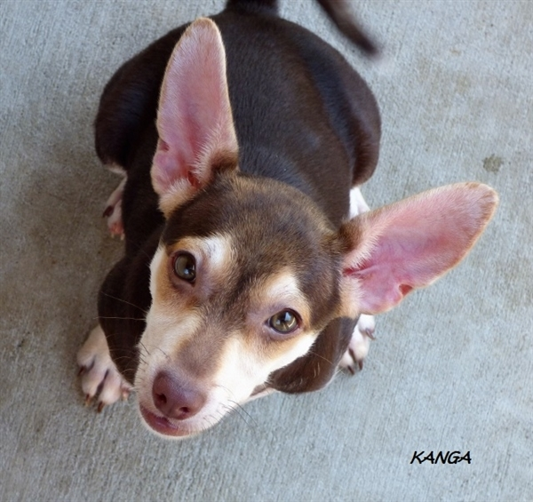 Kanga, an adoptable Chihuahua & Rat Terrier Mix in Louisville, KY