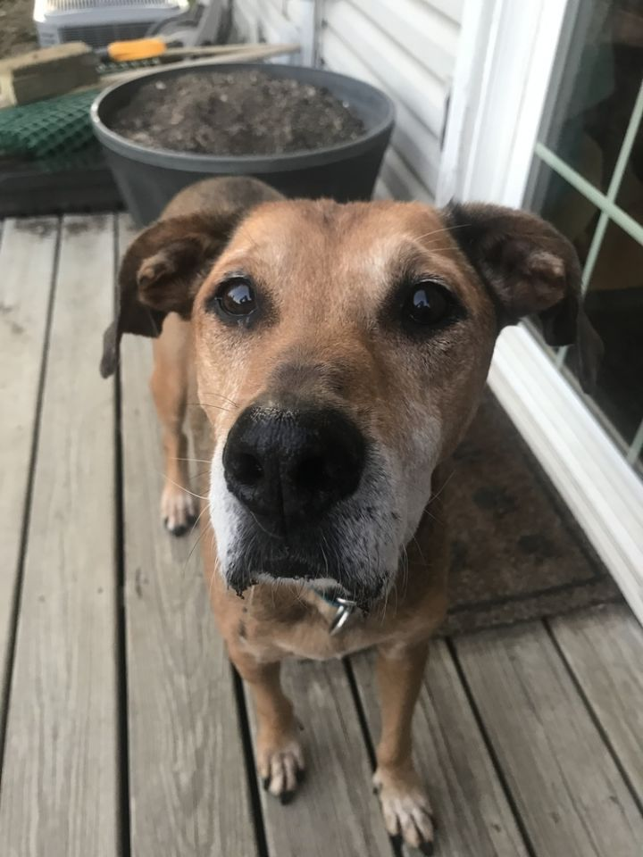 Chase, an adoptable Shepherd & Hound Mix in New Albany, OH