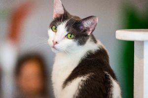 Kyoko Domestic Short Hair Cat