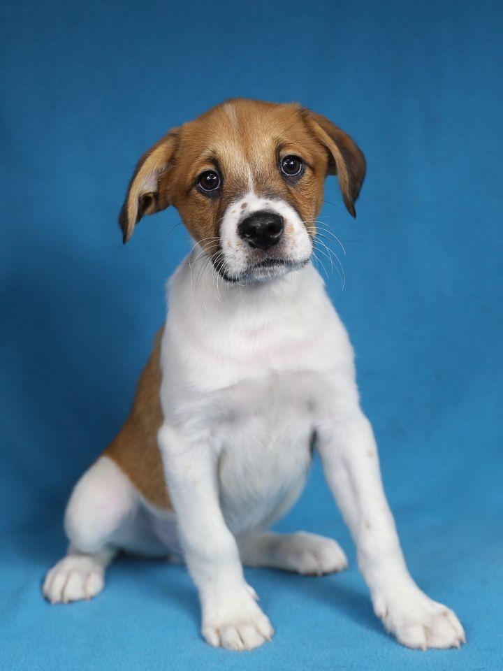 Dog for adoption - Corbin, a Boxer Mix in Minneapolis, MN