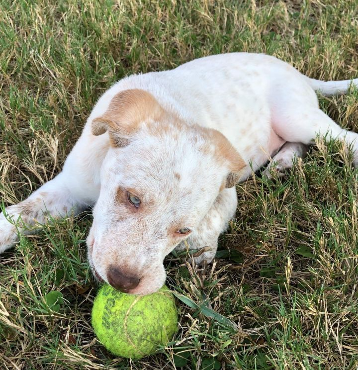 Shaw, an adopted Australian Cattle Dog / Blue Heeler Mix in Temple, TX