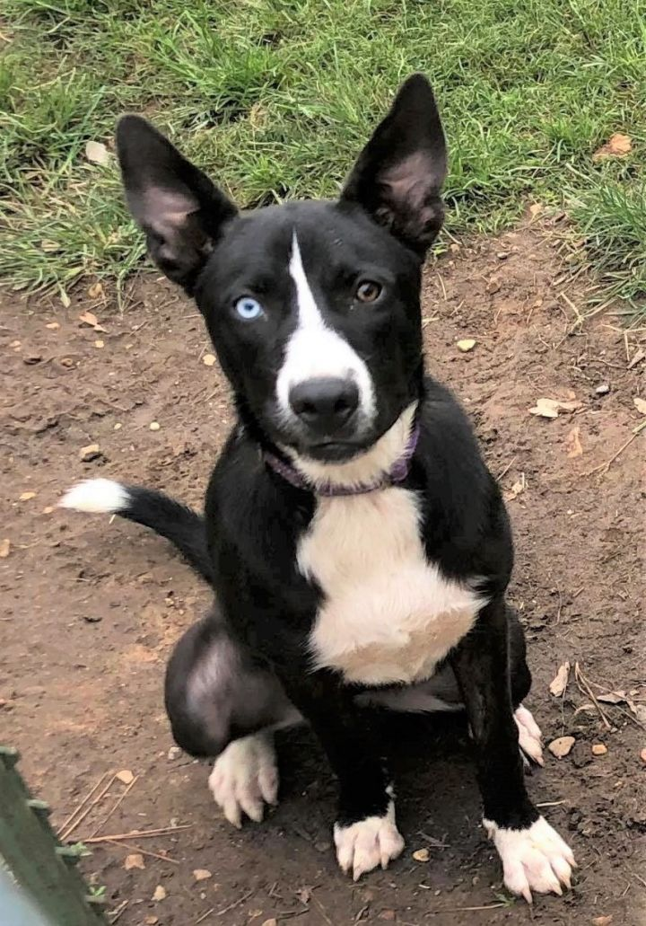 Susie, an adoptable Mixed Breed in Northwood, NH