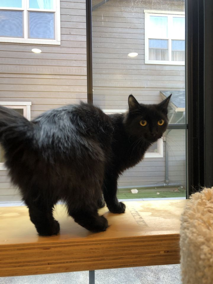 Janice, an adoptable Domestic Medium Hair Mix in Jackson, WY